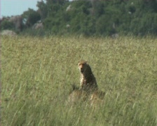 Cheetahs resting Stock Footage