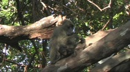 Stock Video Footage of Baboons in a tree
