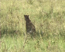 Leopard with her cub Stock Footage