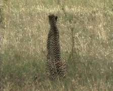 Cheetah sitting in the grass - stock footage