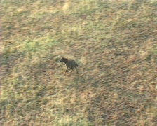 Hyena running Stock Footage