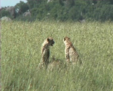 Cheetahs resting - stock footage