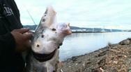 Large Sturgeon Caught Stock Footage