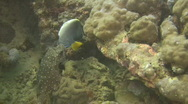 Starry puffer,Arothron stellatus on a reef in the Philippines Stock Footage