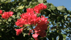 Hibiscus In Stock Footage
