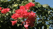 Stock Video Footage of Hibiscus In