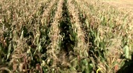Stock Video Footage of Corn Harvest