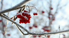 Frozen Ashberry. Stock Footage