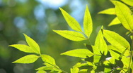 Stock Video Footage of HD Tree branch with backlit green leaves, closeup