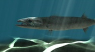 Barracuda Swimming Stock Footage