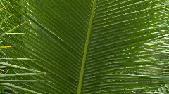 Close up of Palm leaf with feathered structure - stock footage