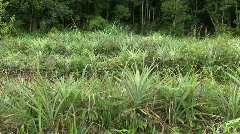 Row of Pineapples on a field Stock Footage