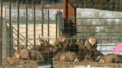 Elk Eating at an Elk Farm Stock Footage