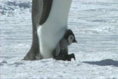 Emperor penguin chick Stock Footage