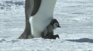 Stock Video Footage of Emperor penguin chick