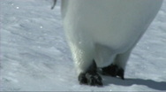 Stock Video Footage of Emperor penguin feet