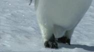 Emperor penguin feet Stock Footage