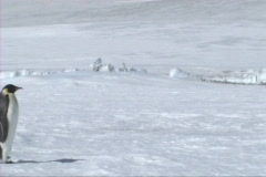 Stock Video Footage of Emperor penguin walking