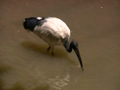 Tropical Asian Egret Preening Nature Pool Lagoon Bird White  Stock Footage