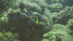 Black-back butterflyfish Chaetodon melannotus in the Philippines Stock Footage
