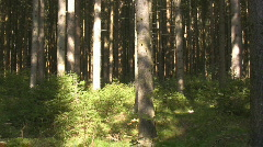 Spruce forest  Coniferous trees  Stock Footage
