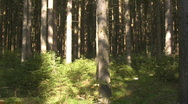 Stock Video Footage of Spruce forest  Coniferous trees
