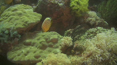 Pacific pinstriped butterflyfish on a reef in the Philippines Stock Footage