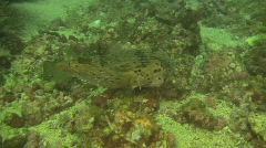 Blotched porcupine fish, Diodon liturosus on a reef in the Philippines Stock Footage