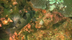 Spotted Soapfish, Pogonoperca Punctata on a reef in the Philippines Stock Footage