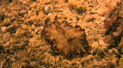 Nudibranch on a coral reef in the Philippines Stock Footage