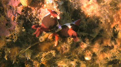 Nudibranch Nembrotha purpureolineata on a coral reef in the Philippines Stock Footage