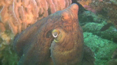 Stock Video Footage of Octopus next an Giant barrel sponge on a reef in Philippines
