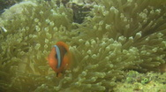 Stock Video Footage of Cinnamon clownfish (Amphiprion melanopus)