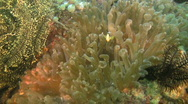 Clarks anemonefish, Amphiprion clarkii in an anemone in the Philippines Stock Footage