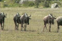 Migration of wildebeest Stock Footage