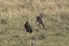 Black-backed jackal feeding Stock Footage