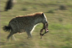 Hyena with a kill Stock Footage