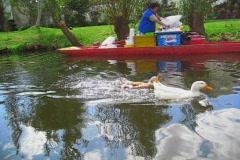 Ducks swimming at the Trajineras de Xochimilco, Mexico  - stock footage