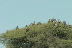 Vultures sitting in a tree Stock Footage
