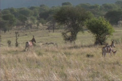 Hartebeest grazing Stock Footage