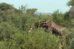 Stock Video Footage of Giraffe feeding