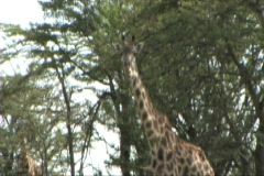 Giraffe in the shade - stock footage