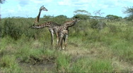 Stock Video Footage of Giraffes feeding