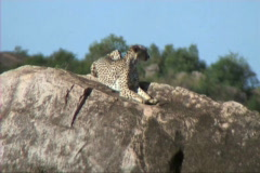 Cheetah resting - stock footage