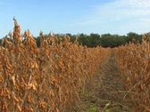 Soybeans ready for harvest in the fall breeze Stock Footage