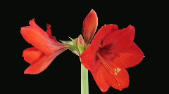 "Time-lapse opening ""Red Lion"" amaryllis Christmas flower alpha matte 2 Stock Footage"