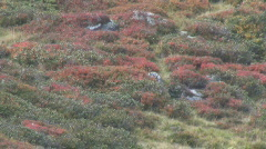 Cranberry bushes  Stock Footage