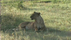 Lioness resting Stock Footage