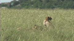 Cheetahs resting Stock Footage