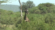 Stock Video Footage of Giraffe feeding